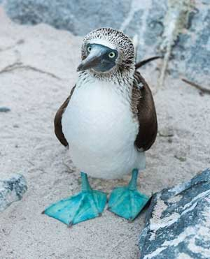 blue-footed-booby-1a