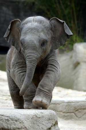baby-elephant-walk-300px