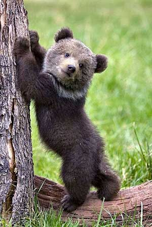 bear-cub-300px