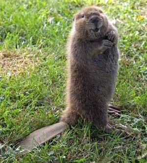 Beaver-cuteness-300px