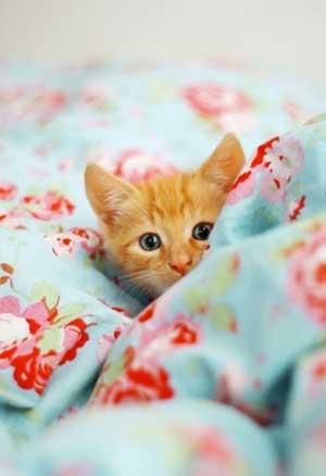 kitten-in-bed-300px