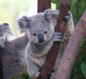 koala-1-300px