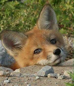 little-fox-300px