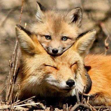 mother-fox-with-baby-a