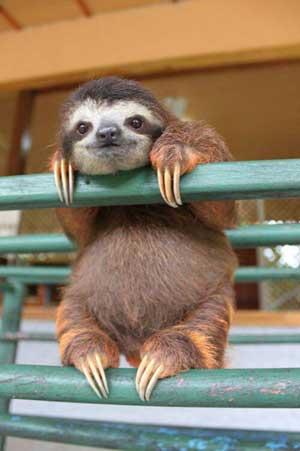 sloth-cuteness-300px