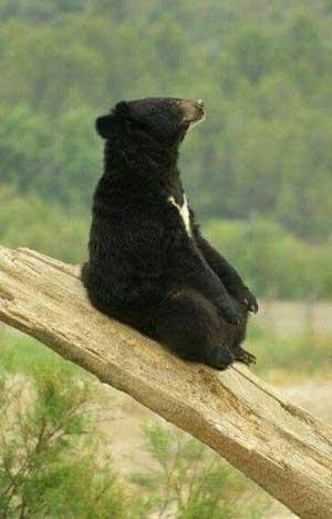 yoga-bear-300px
